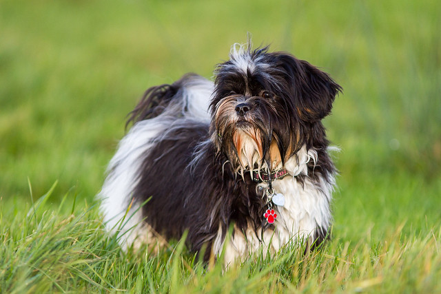 Het Hondenforum Bekijk Onderwerp Shih Tzu Of Cruising