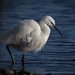 LITTLE EGRET 1 by Photomad2013