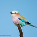 Lilac-breasted Roller, Coracias caudatus, Hwange National Park, Zimbabwe by Jeremy Smith Photography