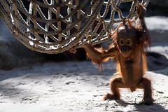 Orangutan Baby Supported by Net