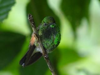 Stripe-tailed hummingbird-Eupherusa eximia-Streifenschwanzkolibri