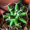 Boo...ini bukan belimbing sayur ya... #flower_daily #flowerstalking #cactuslover #quintaflower #flowerandmacro