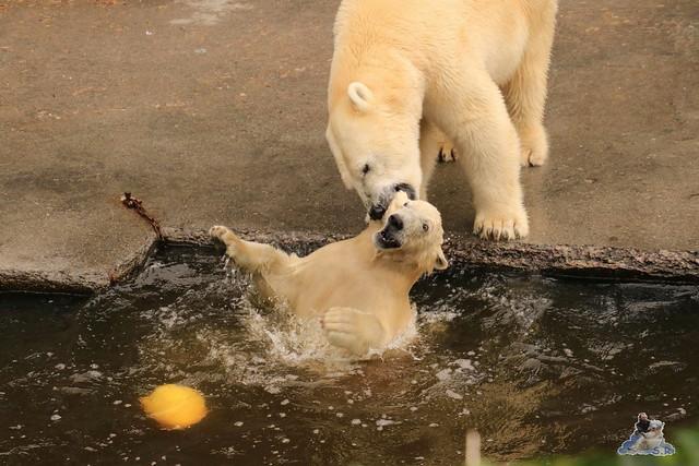 Eisbär Fiete imm Zoo Rostock 15.08.2015 Teil 2  208