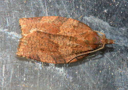 Barred Fruit Tree Tortrix 2593