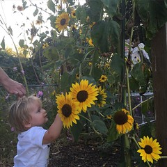Baby boy and sunflowers.