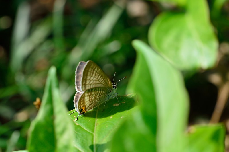 Lampides boeticus / Long-tailed Blue