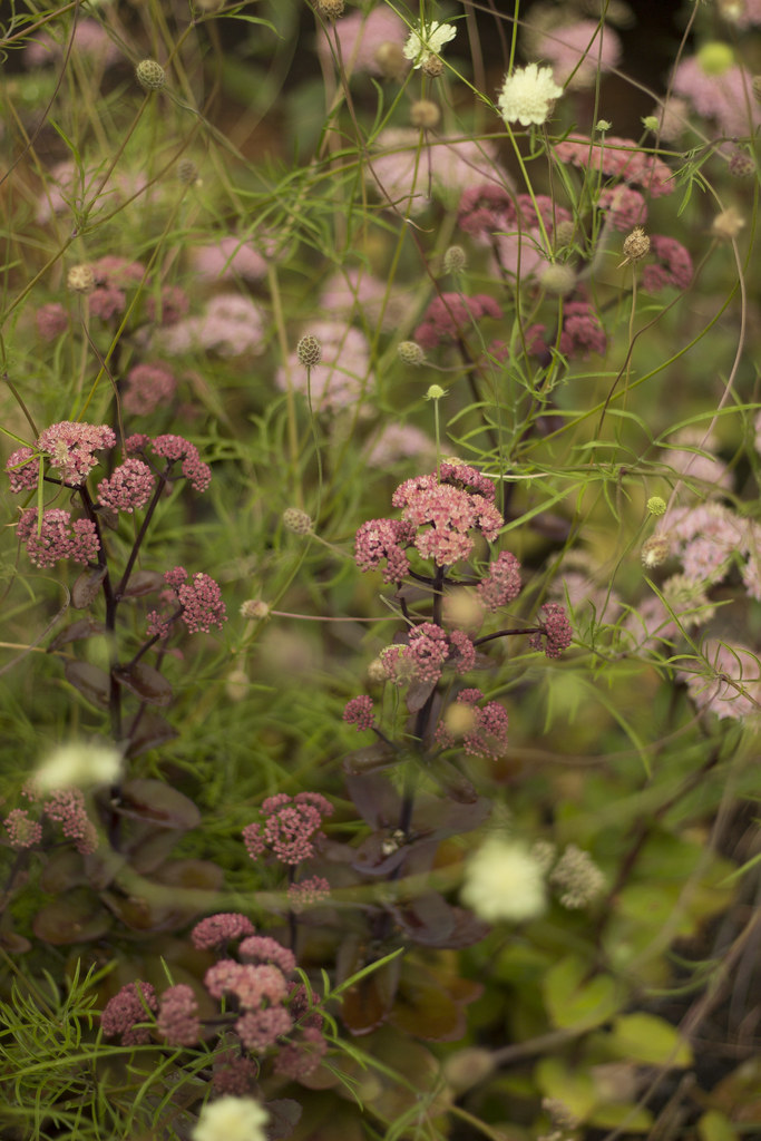 sedum and scabiosa