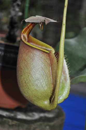 Nepenthes bicalcarata, lower pitcher