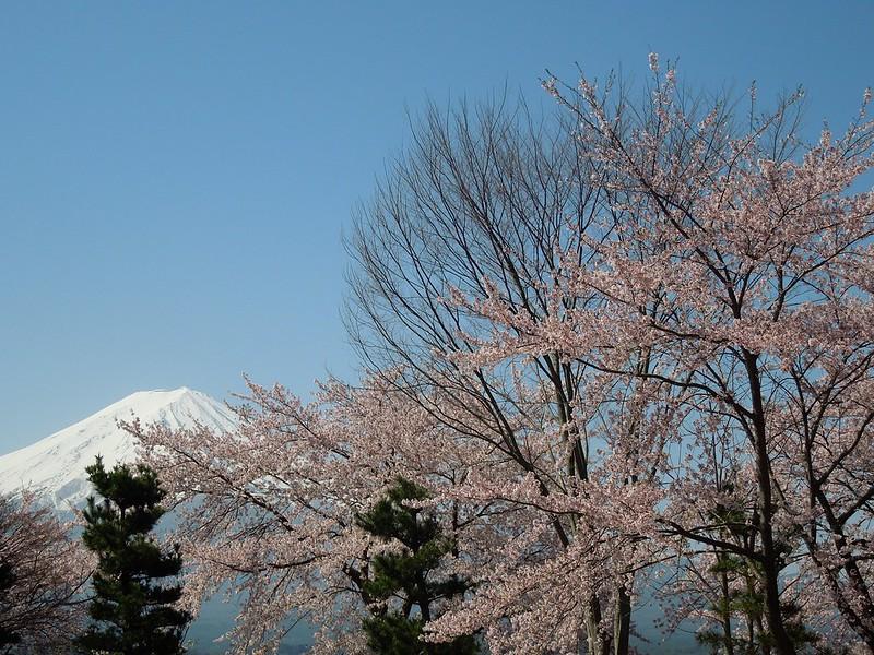 河口湖 富士山と桜 Lake Kawaguchiko - Mt. Fuji and cherry blossoms-0001