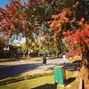 Chinese Tallow Trees @ Popcorn Trees during pre-Autumn Season | Marvi Rd near Jinnah Super | Islamabad, Pakistan | #AutumnLeaves #AutumnFoliage #eTribune @eTribune #Islamabad #TraveloguePakistan #Pakistan #ExpatInPakistan #DawnDotCom #BeautifulAutumn #Aut