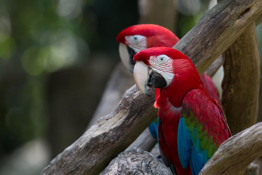Arara Vermelha - Green Winged Macaw - Ara Chloroptera