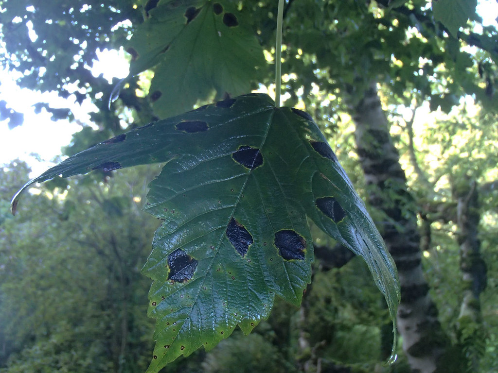sycamore-with-tar-spot