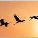 Panoramic Silhouette of Painted Stork flying against the setting Sun! by KS Photography!