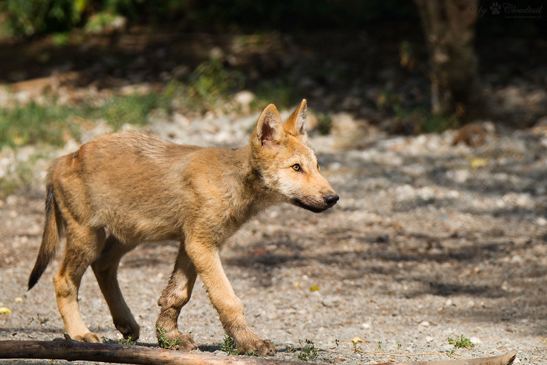 young wolf
