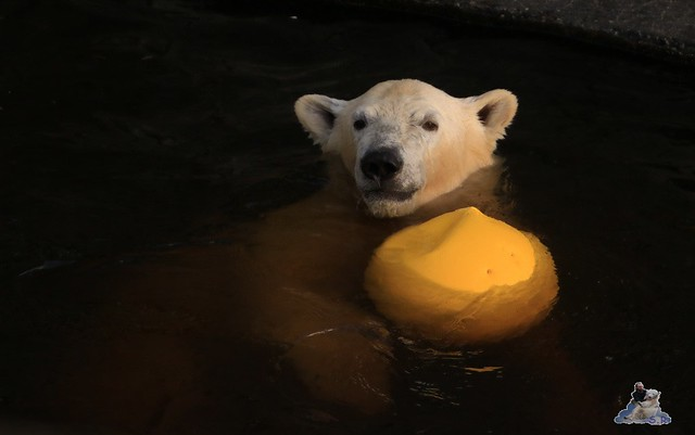 Eisbär Fiete im Zoo Rostock 12.12.2015   139