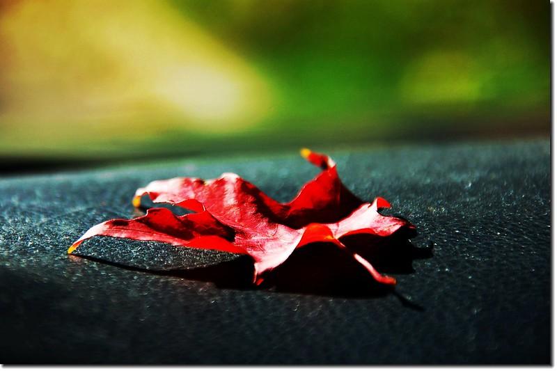 Sugar maple leaves (3)