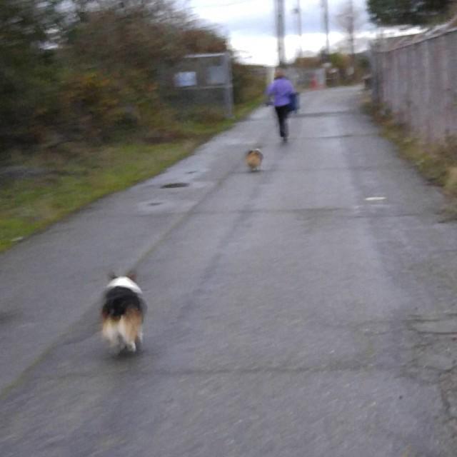 Corgi race!