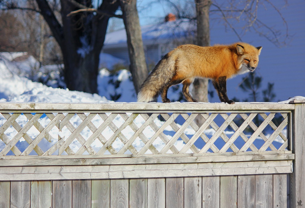 Fox on the Fence