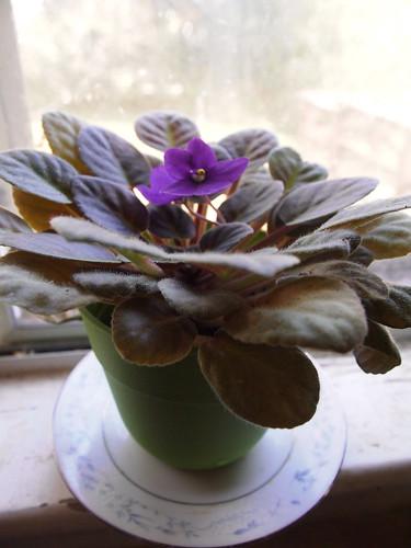 Mom's African Violet, in November 2015.