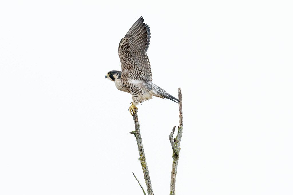 A peregrine falcon throws up its wings to maintain its balance atop a dead tree