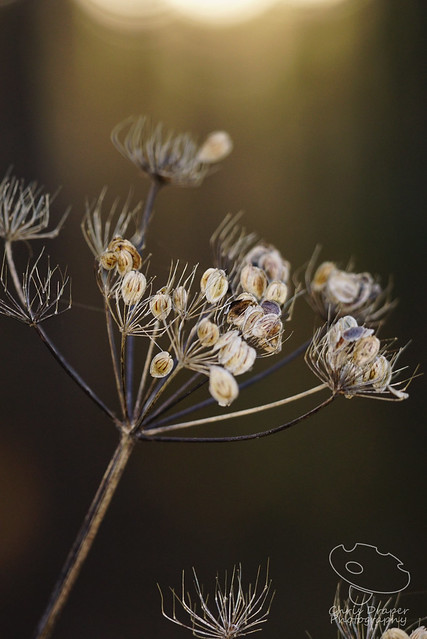 Winter Seedhead