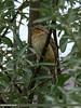 Eurasian Wryneck (Jynx torquilla) by gilgit2