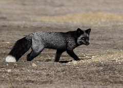 Silver Fox Vixen Hunting