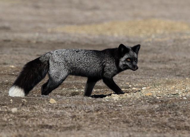Silver Fox Vixen Hunting