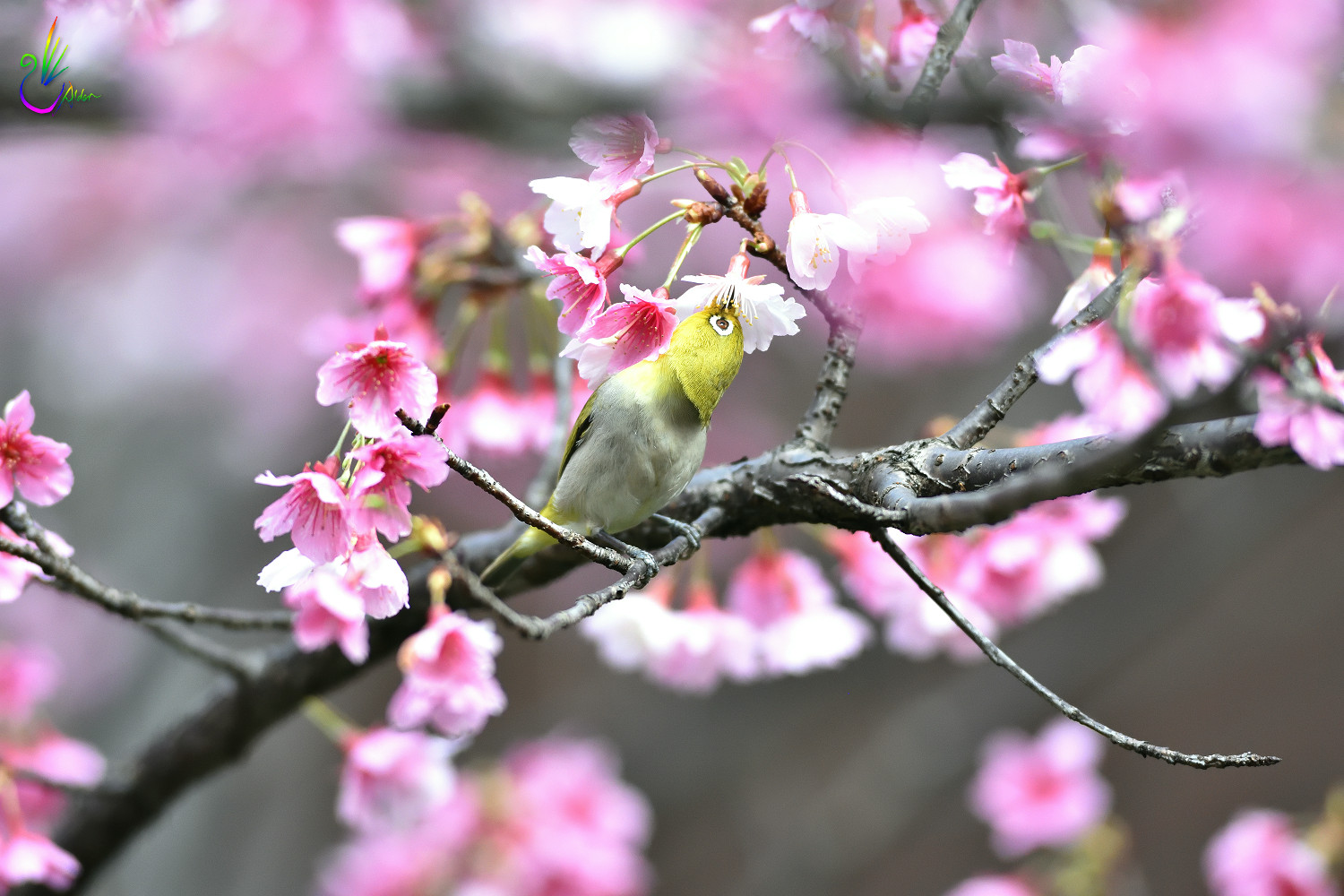 Sakura_White-eye_5055