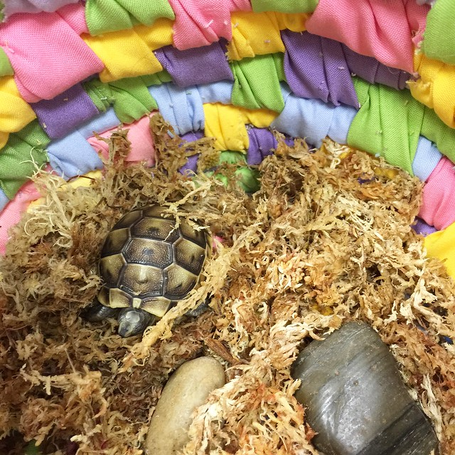 Cornwallis the Greek Tortoise