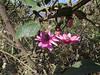 Passiflora pilosicorona by Birdernaturalist