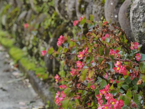 坂の石垣に花咲く