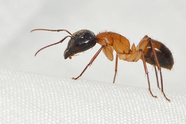 Camponotus nigriceps (F. Smith) Major worker