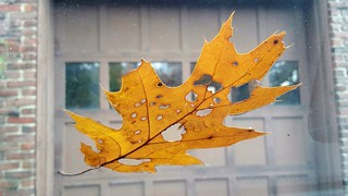 Oak leaf on windshield