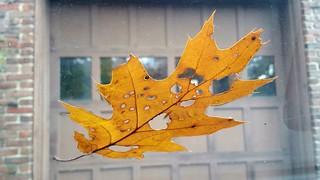 Oak leaf on windshield