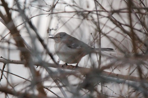 michigan northernmockingbird rarity 2015 centrevillemi canoneosrebelt3i tamron150600