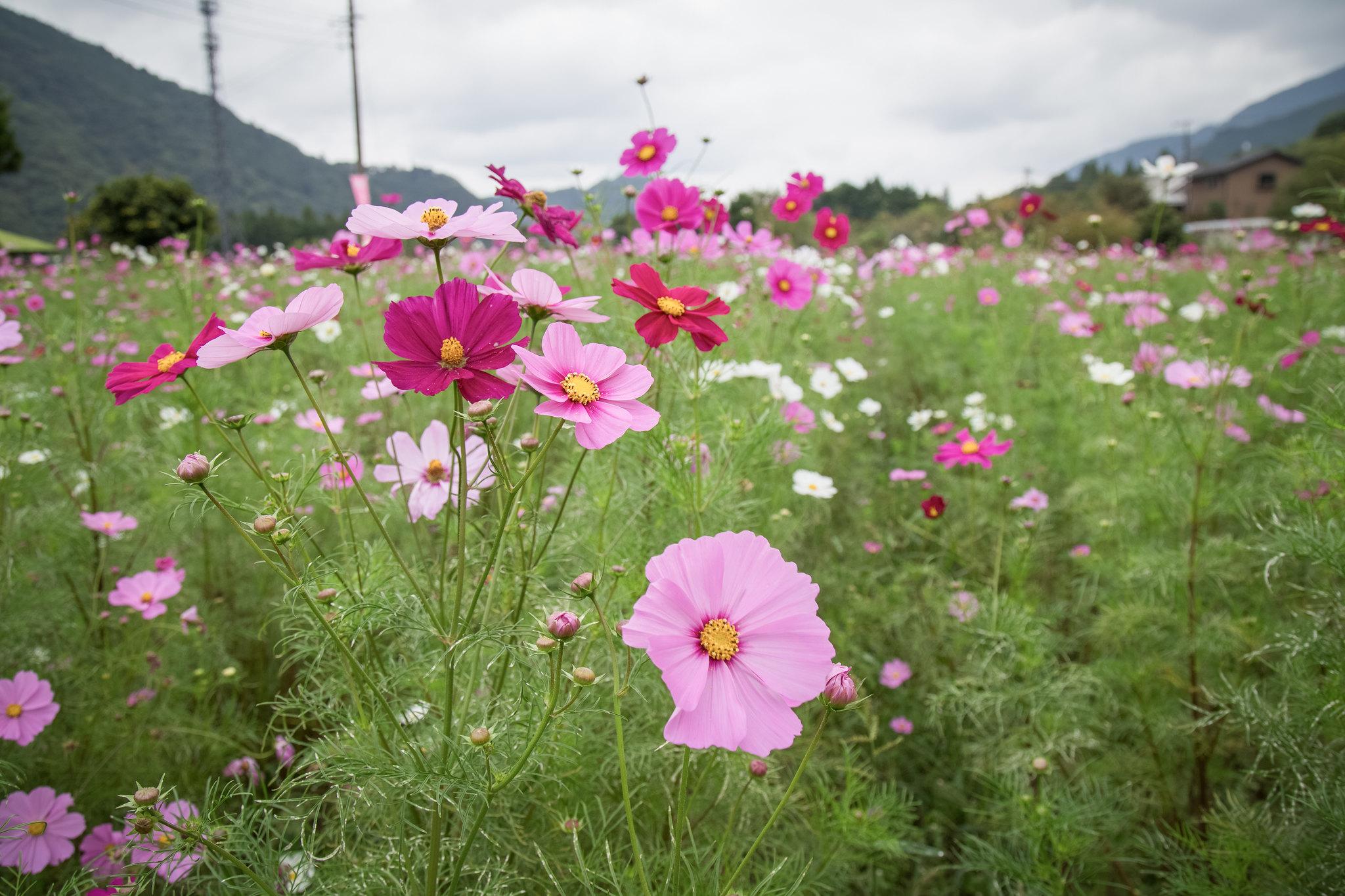 2014-10-12 神之川キャンプ場と青根コスモス園 006
