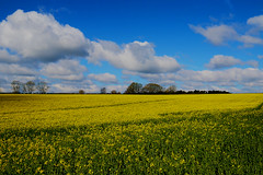 Fields Of Yellow & Skies Of Blue