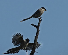 Azure-winged Magpies