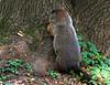 woodchuck at Chattahoochie Park IA 854A8752 by lreis_naturalist