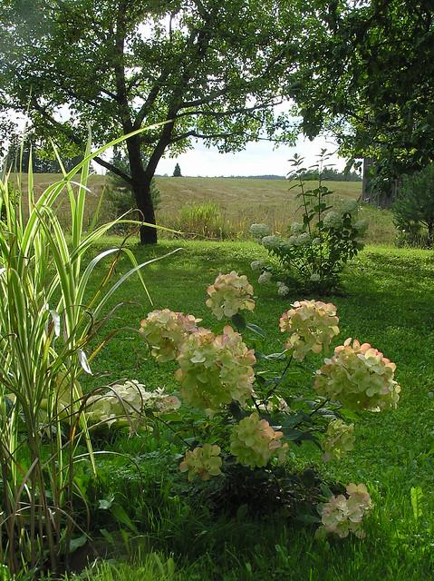 Hydrangea paniculata 'White Diamonds' & Miscanthus sinensis 'Variegata'