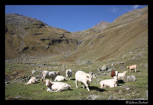 Beaucoup de vaches dans ce vallon