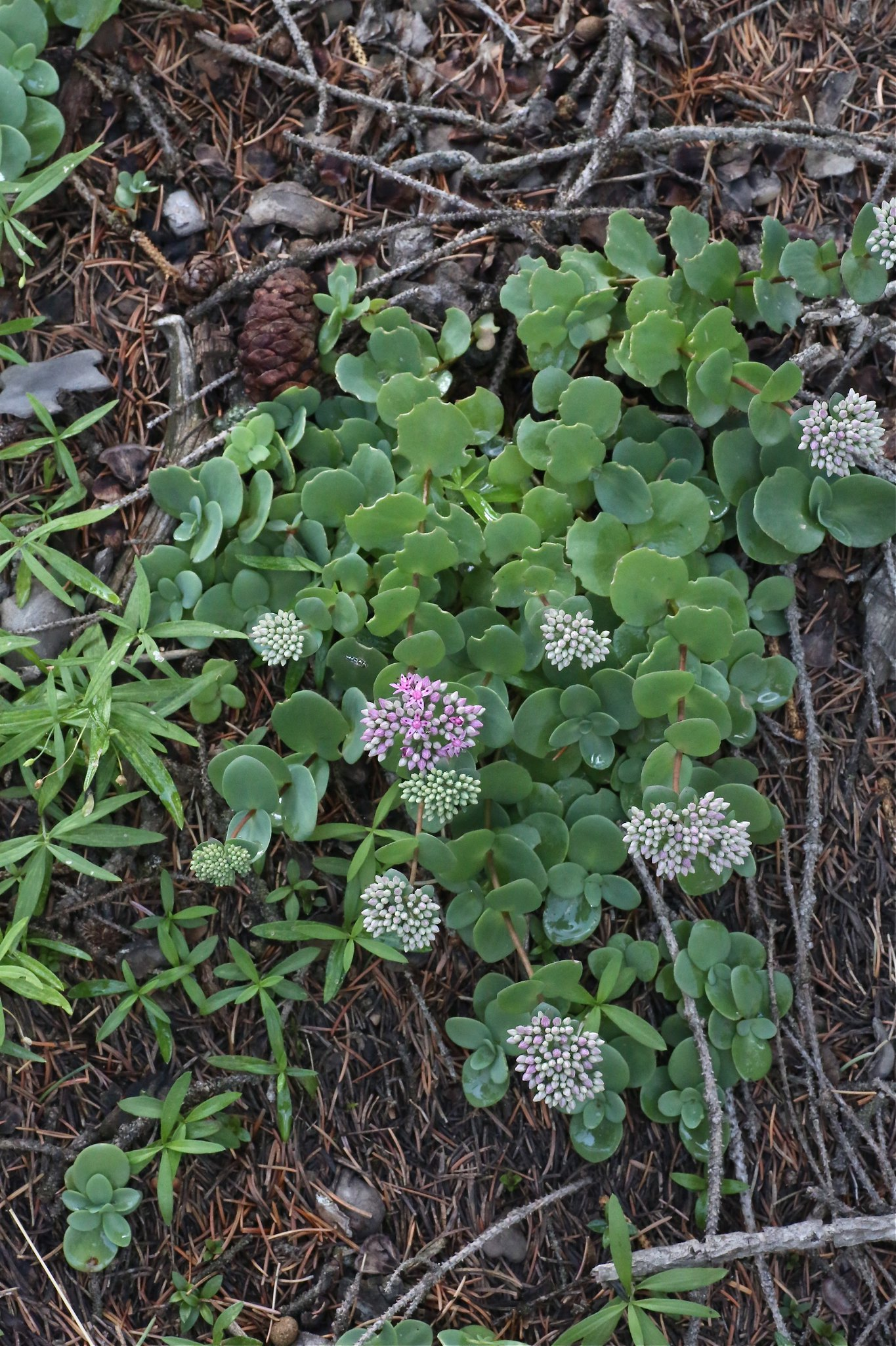 Hylotelephium ewersii (Crassulaceae)