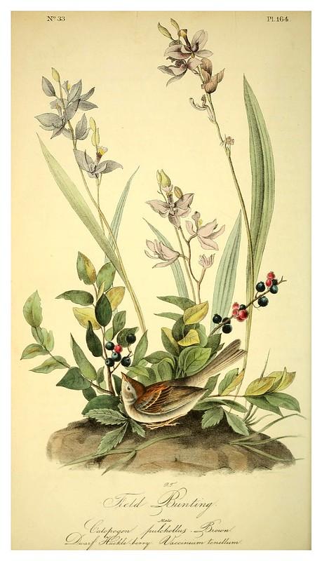 012- Verderon de campo-Vol3-1840-The birds of America…J.J. Audubon