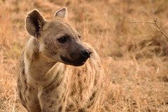 lycaon pictus(0.0), animal(1.0), mammal(1.0), hyena(1.0), fauna(1.0), safari(1.0), wildlife(1.0),