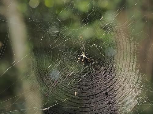 ジョロウグモの巣、逆光に照らされ