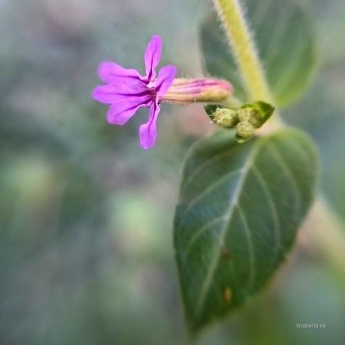 #BomDia #flor do dia!    #flores #gramado #grama #flower #flowerinstagram #flowerstalking #flordodia #floweroftheday #verdeolhar #lawn #macro #macrophotography #phonephoto