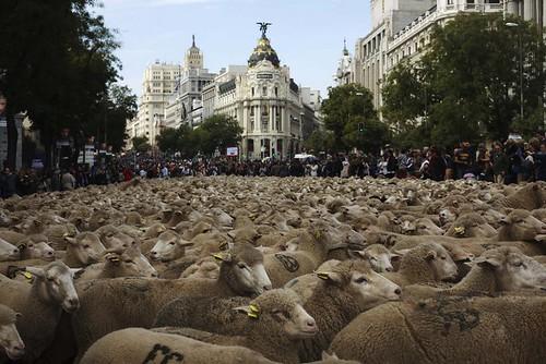 2000 овець пройшли Мадридом, тому що це їхній стародавній шлях