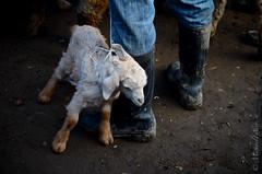 The Cutest Lamb