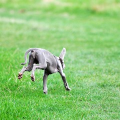 animal, dog, grass, whippet, pet, mammal, weimaraner, meadow, lawn, pasture,